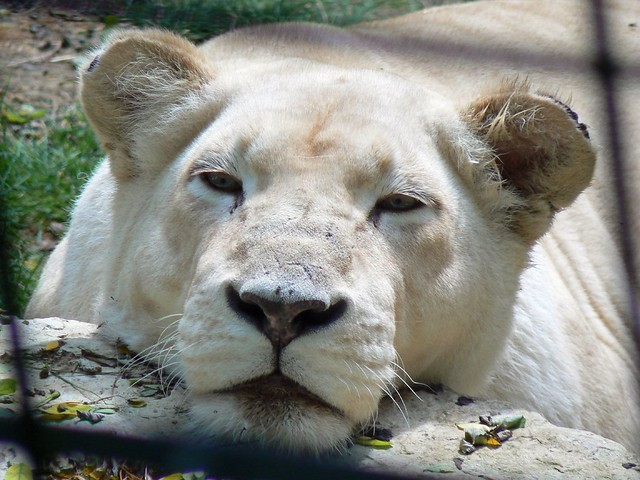 Lion Blanc Au Zoo De Beauval Flickr Photo Sharing