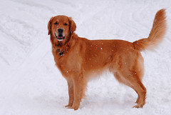 labrador retriever(0.0), puppy(0.0), finnish spitz(0.0), dog breed(1.0), animal(1.0), dog(1.0), pet(1.0), nova scotia duck tolling retriever(1.0), irish setter(1.0), golden retriever(1.0), carnivoran(1.0), chesapeake bay retriever(1.0),