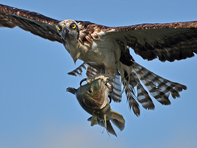 Osprey in flight w large fish 10