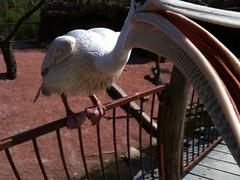 Pelikan snapper :)