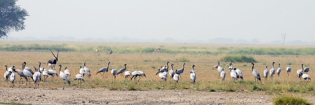 Demoiselle Cranes at Chhapar