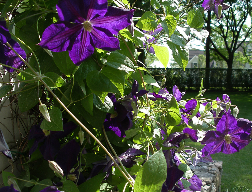 clematis jackmanii clematis jackmanii superba dobbies garden centres clematis 39 jackmanii. Black Bedroom Furniture Sets. Home Design Ideas