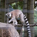 Small photo of Ringtail Lemur on the move
