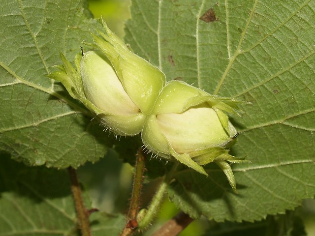 Avellaner (Corylus avellana): fruits verds