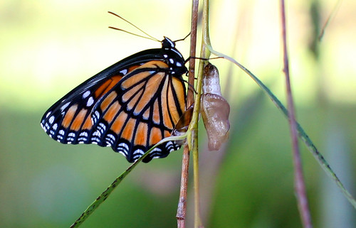 Monarch Hatching from Chrysalis