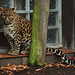 Indochinese Leopard - Panthera pardus delacouri - Indochina-Leopard