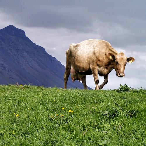 Cow by Atli Harðarson