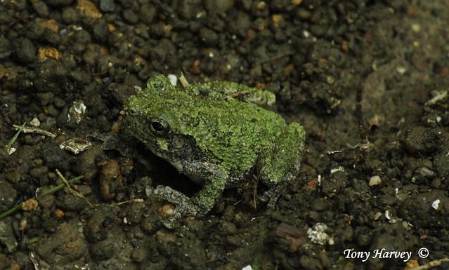 Header of tree toad
