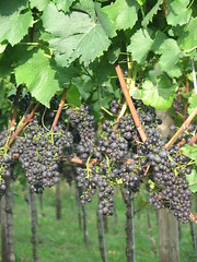 agriculture, tree, plant, grape, produce, fruit, food, vineyard,