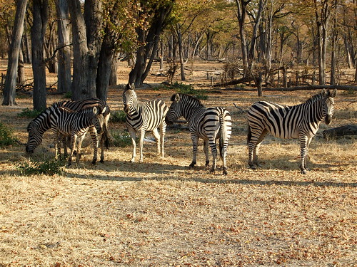 Zebras at Moremi