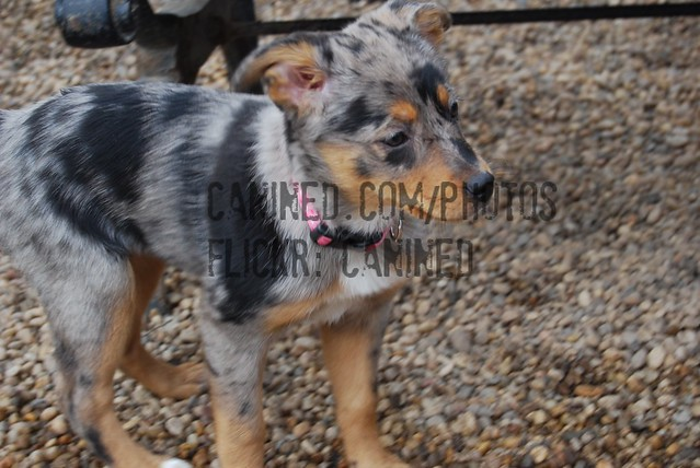 puppy australian shepherd + australian blue heeler cattle dog mix