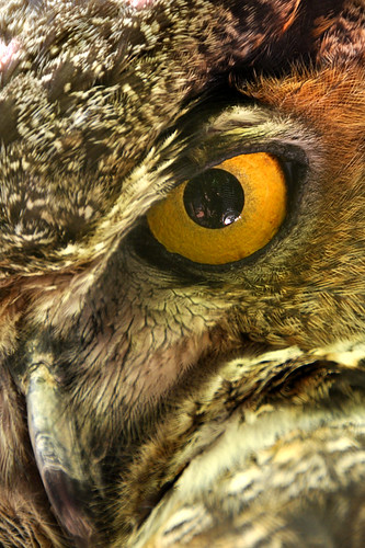 eye gold beak feathers owl cranbrook pupil goldeneye cranbrookeducationalcommunity sklender duplicatemastertomove