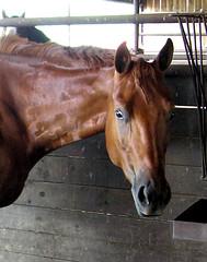 rein(0.0), halter(0.0), bridle(0.0), horse tack(0.0), mustang horse(0.0), animal(1.0), mane(1.0), mare(1.0), stallion(1.0), colt(1.0), pack animal(1.0), horse(1.0),