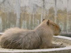 mane(0.0), lion(0.0), whiskers(0.0), wildlife(0.0), animal(1.0), zoo(1.0), rodent(1.0), fauna(1.0), capybara(1.0),