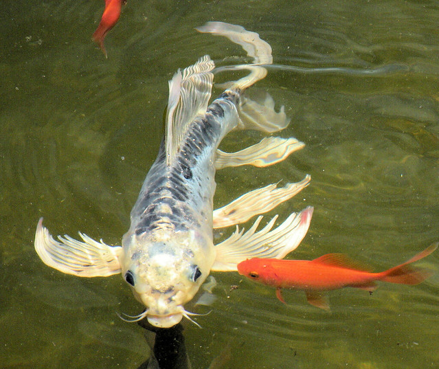 Blue butterfly koi for Japanese koi fish wholesale