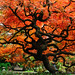 Cut-leaf Maple (2010) by Bruce Irschick