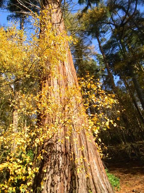 Sequoia, Back Wood