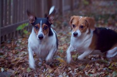 dog breed, animal, danish swedish farmdog, dog, brazilian terrier, pet, miniature fox terrier, toy fox terrier, parson russell terrier, russell terrier, carnivoran, jack russell terrier, terrier,