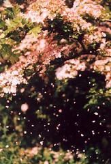 pinkmayfall