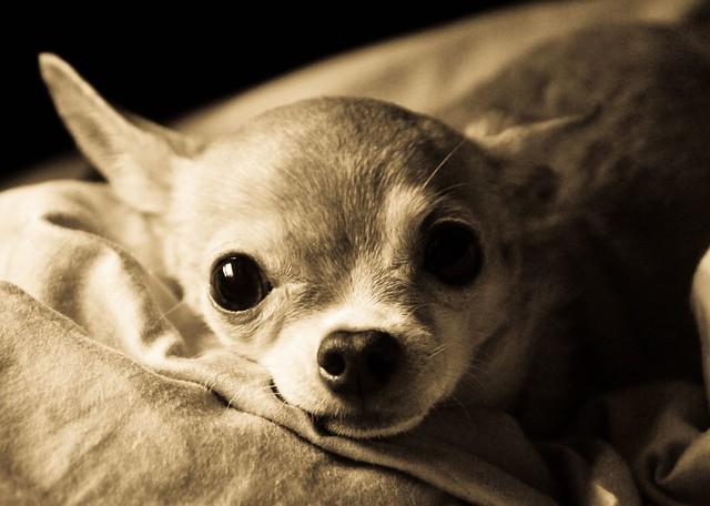 La Chihuahua - Cover