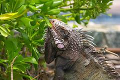 iguana_snacking