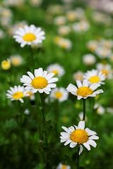 白晶菊 Snowland Daisy