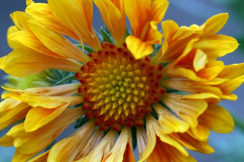 Orange and lemon Gaillardia