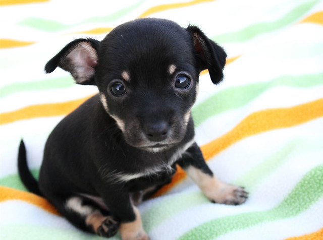 Tiny Cute Adorable Puppy Chihuahua