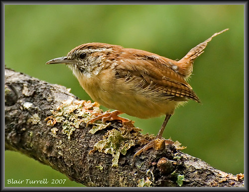 Another Carolina Wren
