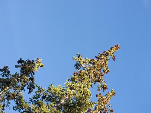 blue sky tree green pine tip