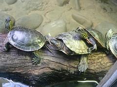 Turtles at Portland zoo