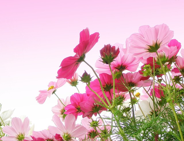 Cosmos in pink