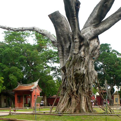 台南孔廟老榕樹。圖片提供:晁瑞光。