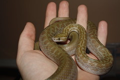 Anerythristic Cape House Snake