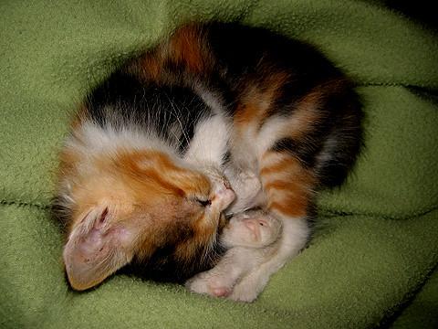 Calico Kitten For Sale Leamington Spa
