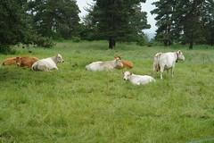 Cows on La Chan