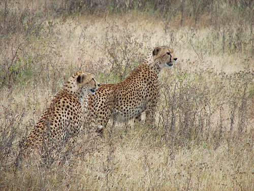 Cheetahs selecting their prey