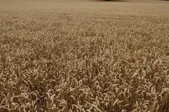 soil(0.0), food(0.0), emmer(1.0), prairie(1.0), agriculture(1.0), triticale(1.0), einkorn wheat(1.0), rye(1.0), food grain(1.0), field(1.0), barley(1.0), wheat(1.0), plant(1.0), harvest(1.0), crop(1.0), cereal(1.0), grassland(1.0),