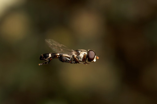 There's only one thing stops a hoverfly in mid flight.. Male hoverfly Syritta pipiens