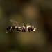 There's only one thing stops a hoverfly in mid flight.. Male hoverfly Syritta pipiens by Lord V