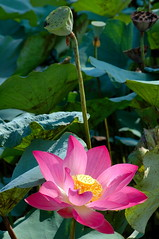 The last lotus before summer ending/夏末餘荷