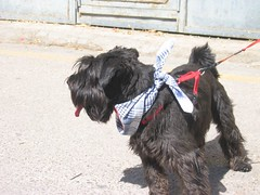 dog breed, animal, dog, schnoodle, pumi, pet, tibetan terrier, glen of imaal terrier, mammal, havanese, schnauzer, bouvier des flandres, miniature schnauzer, affenpinscher, scottish terrier, terrier,