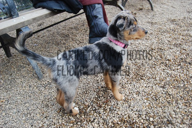 Australian Cattle Dog Blue Heeler Mix