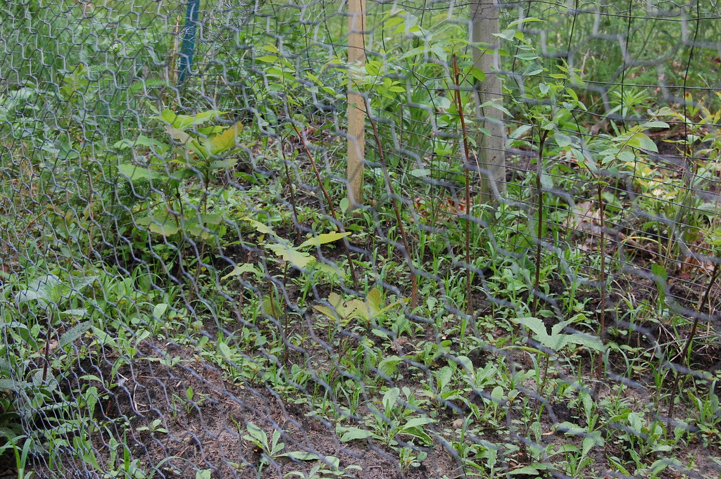 Tree seedlings in fenced nursery