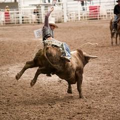 western riding(0.0), equestrian sport(0.0), charreada(0.0), barrel racing(0.0), animal sports(1.0), rodeo(1.0), bull(1.0), event(1.0), sports(1.0), bull riding(1.0),
