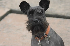 dog breed, animal, dog, schnoodle, pet, standard schnauzer, vulnerable native breeds, schnauzer, miniature schnauzer, carnivoran, scottish terrier, terrier,