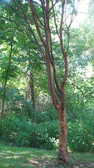 Red trunk tree