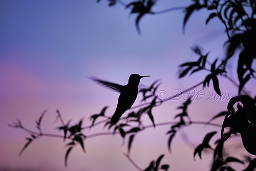 Sunset Humming Bird [Explore]