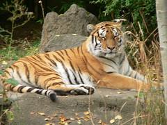 A tiger at Portland zoo