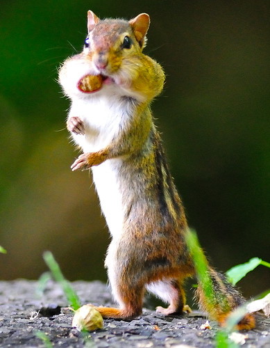 Upright Walking Chipmunk by Brian E Kushner